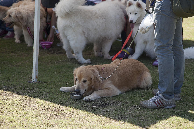 大型犬はやっぱり暑い〜テントで水分補給です